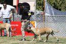 Jabalpur Dog Show 2013 | bull mastiff,ex-115,sw-81,
