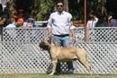 Jabalpur Dog Show 2013 | bull mastiff,ex-118,sw-81,