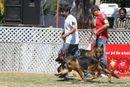 Jabalpur Dog Show 2013 | ex-182,german shepherd,sw-81,