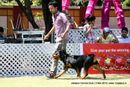 Jabalpur Dog Show 2013 | rottweiler,sw-81,