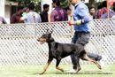 Jabalpur Dog Show 2013 | doberman,ex-112,sw-87,