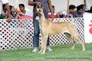 Jabalpur Dog Show 2013 | ex-130,great dane,sw-87,