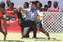 Jabalpur Dog Show 2013 | dobermann,ex-128,sw-81,