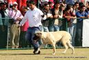 Jamshedpur Dog Show 2014 | english mastiff,ex-166,sw-114,