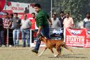 Kanpur Dog Show 2012 | boxer,ex-114,sw-72,