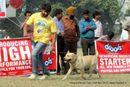 Kanpur Dog Show 2012 | ex-82,labrador retriever,sw-72,