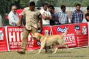 Kanpur Dog Show 2012 | ex-98,labrador retriever,sw-72,