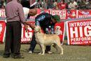 Kanpur Dog Show 2012 | ex-80,labrador retriever,sw-72,