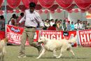 Kanpur Dog Show 2012 | ex-65,golden retriever,sw-72,