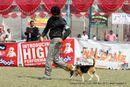 Kanpur Dog Show 2012 | beagle,ex-38,sw-72,