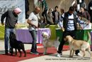 Labrador Retriever Specialty Dog Show New Delhi |