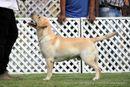 Labrador Specialty Show Jabalpur -2014 | ex-76,labrador retriver,sw-127,
