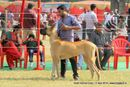 Lucknow Dog Show 2013 | ex-158,great dane,sw-101,