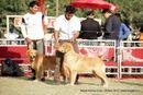 Noida Dog Show 2013 | ex-99,golden retriever,sw-99,