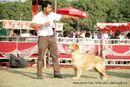 Noida Dog Show 2013 | ex-102,golden retriever,sw-99,