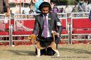 Noida Dog Show 2013 | beagle,ex-75,sw-99,