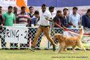 Orissa Kennel Club - 7 Dec 2014 | ex-78,golden retriever,sw-139,