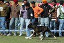 Patiala Dog Show 2013 | boxer,ex-123,sw-80,