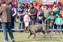 Patiala Dog Show 2013 | ex-161,neapolitan mastiff,sw-80,