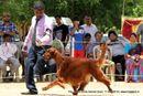 The Salem Acme Kennel Dog Show | ex-84,irish setter,sw-85,