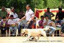 Salem Dog Show 2013 | ex-90,labrador retriever,