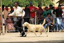 Salem Dog Show 2013 | labrador retriever,