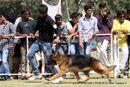 Vadodara Dog Show | german shepherd,sw-83,