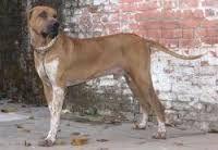 Indian-mastiff
