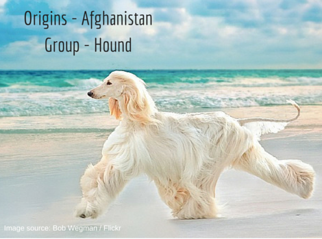 Origins - AfghanistanAlso called - Tazi (1)