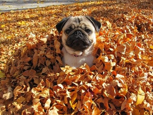 funny-dog-playing-leaves