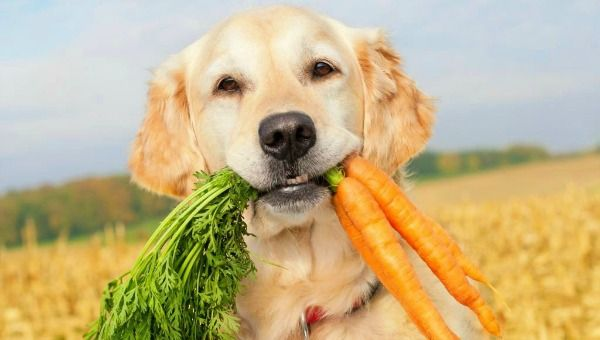 can-dog-eat-carrot-1024x768