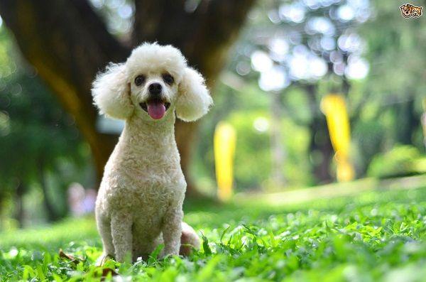 does-the-poodle-make-a-good-family-dog-5336af8e5ea62