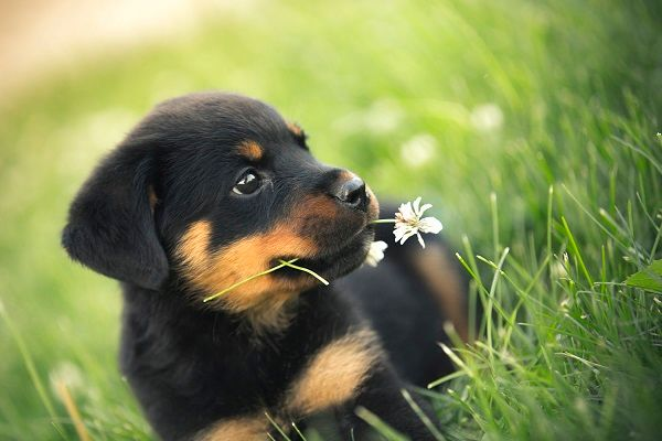 Rottweiler-Puppies1-1