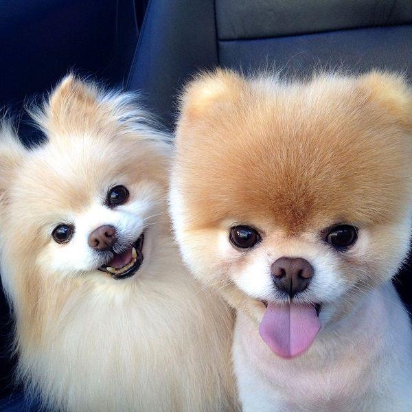 Cute-Pomeranian-Pictures