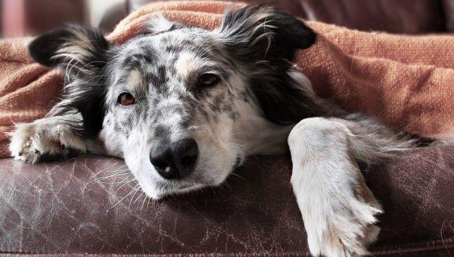 sick-dog-canine-cancer
