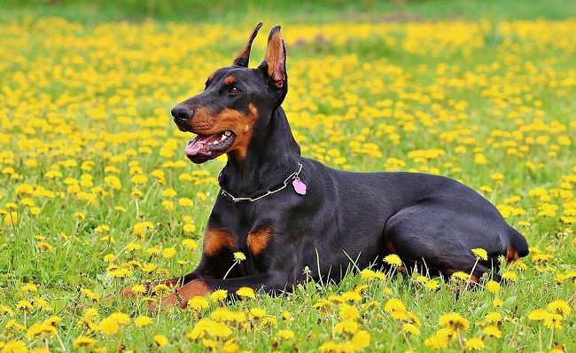 real doberman