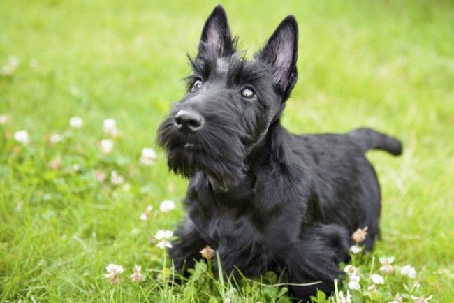 Scottish_Terrier_lcsoy1