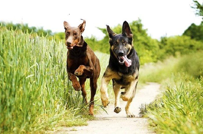 best-guard-dogs-main