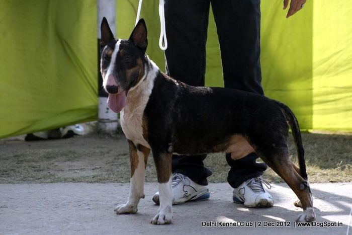 ex-33,Staffordshire Bull Terrier,sw-67, image