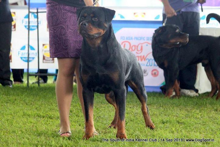 ex-272,rottweiler,sw-90,, UNIK FLASH ROUSE, Rottweiler, DogSpot.in