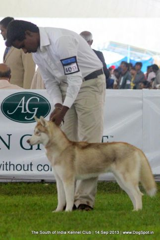 ex-409,siberian husky,sw-90,, 112th & 113th Ooty Dog Show, DogSpot.in