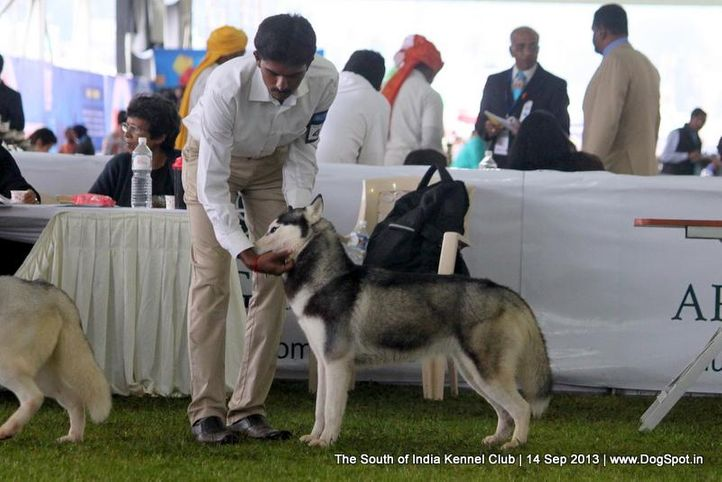 siberian husky,sw-90,, 112th & 113th Ooty Dog Show, DogSpot.in