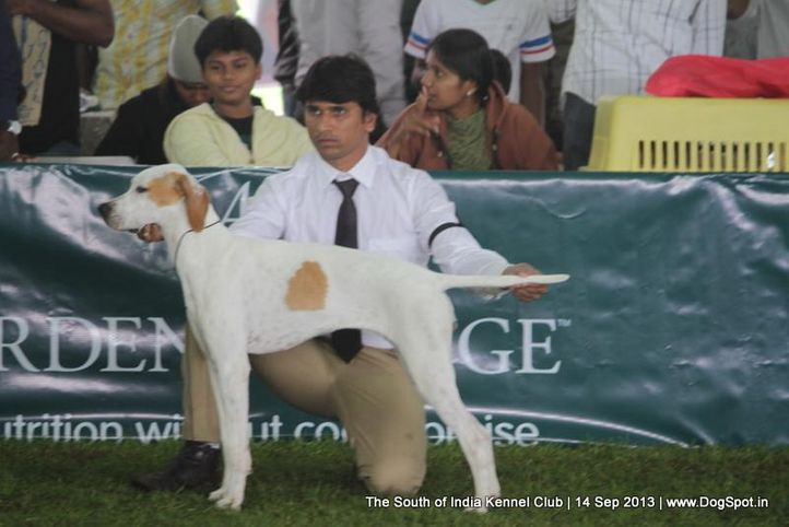 pointer,sw-90,, 112th & 113th Ooty Dog Show, DogSpot.in