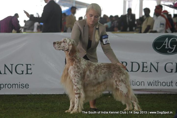 english setter,sw-90,, 112th & 113th Ooty Dog Show, DogSpot.in