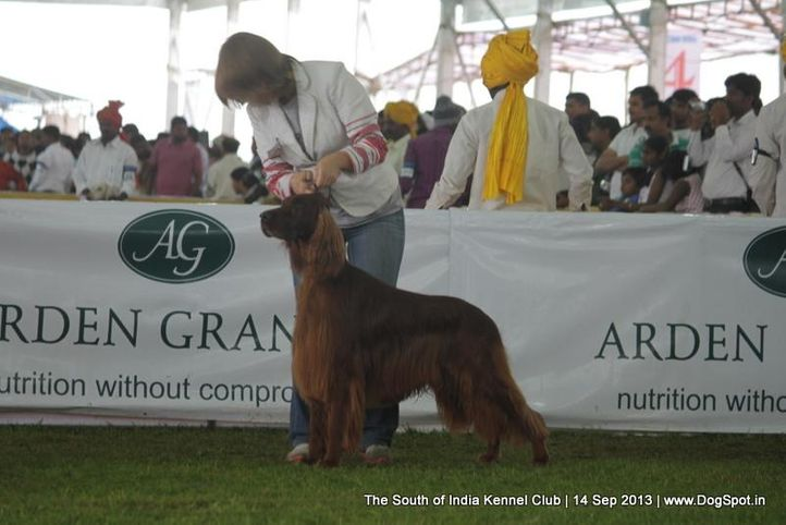 irish setter,sw-90,, 112th & 113th Ooty Dog Show, DogSpot.in