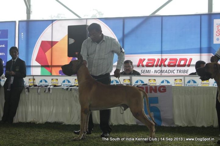 great dane,sw-90,, 112th & 113th Ooty Dog Show, DogSpot.in