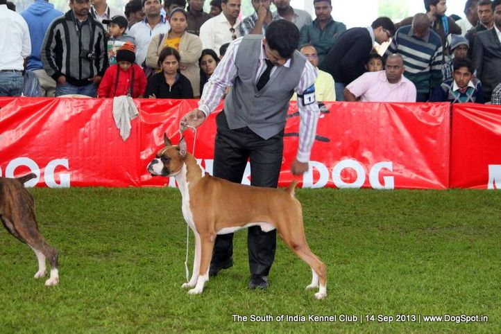 boxer,ex-110,sw-90,, BLACKMAIL, Boxer, DogSpot.in