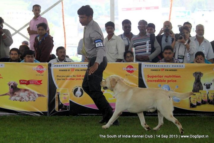 ex-533,labrador retriever,sw-90,, 112th & 113th Ooty Dog Show, DogSpot.in