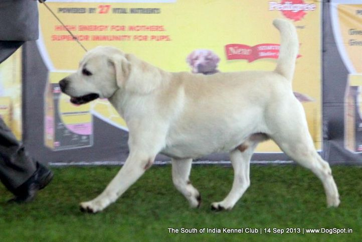 labrador retriever,sw-90,, 112th & 113th Ooty Dog Show, DogSpot.in