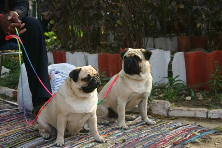 Agra 2008, Pugs, Agra Dog Show- 3 Feb 2008, DogSpot.in